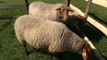 pecore in recinto