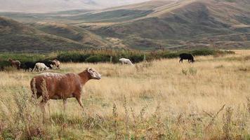 rebanho de ovelhas. video