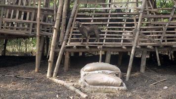 Ziegenkind, das in seinem Schuppen aus Bambus steht