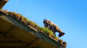 4 k lindo bebé ciervo cervatillo en prado de hierba verde en primavera