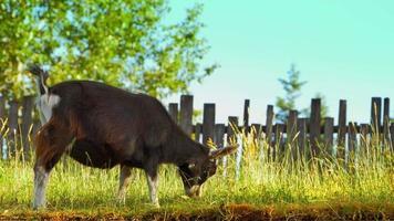 4k de cabras em pastagem, pastagens agrícolas, campo de grama no verão video