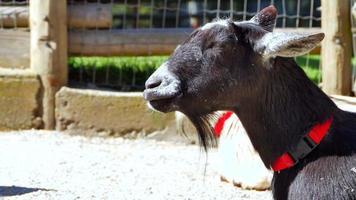 duas cabras descansando, mamífero fofo no sol, mastigando de perto video