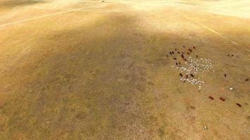 Ganado mixto de vacas y cabras que pastan en el campo de rastrojo