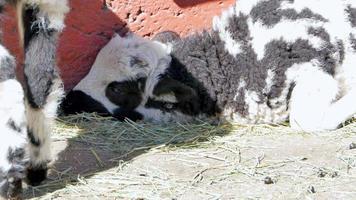ruhendes Lamm, schlafend im Sommer