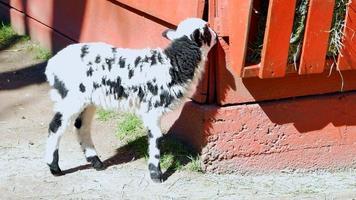 cordero blanco y negro, mamífero oveja bebé