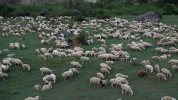 Schafherde, die auf destilliertem weidet