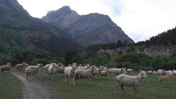 Rebaño de ovejas pastando en destilados