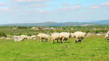 Schafe, die im Dorf auf grünem Gras, Assos, Canakkale, Truthahn grasen