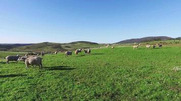 rebanho de ovelhas pastando nas montanhas video