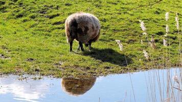 ovelha marrom branca comendo grama