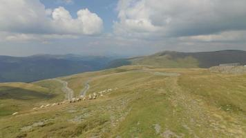 Toma aérea de 4 k de rebaño de ovejas cerca de la carretera transalpina