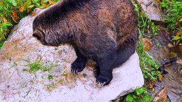 orso grizzly da vicino, fauna selvatica da vicino