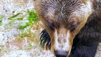 Extreme Close Up of Grizzly Bear and Fur, Wet Damp Animal Fur video