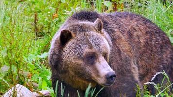 Grizzly bear faune close up, ours assis dans le champ, se détendre