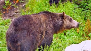Grizzly debout dans le pré, pose détendue dans le paysage d'herbe de printemps