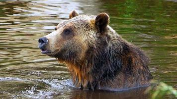 Happy Grizzly Bear Sitting in Pond, Nature Wildlife, Wet Fur video
