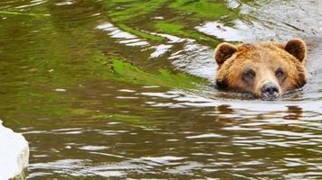 schwimmende Grizzlybär-Tierwelt hautnah, See zum Ufer schwimmen, Tier in der Natur video