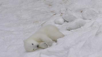 un cucciolo di orso polare si riposa e gioca nella neve
