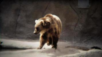 1972: grande orso grizzly che cammina nell'habitat dello zoo di cemento grigio.