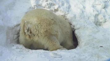 un orso bianco scava una tana video