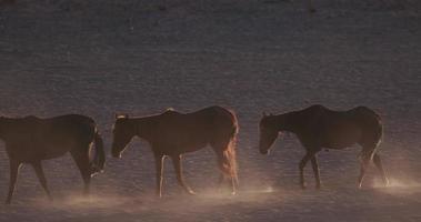 4k hintergrundbeleuchtete Aufnahme von wilden Pferden, die durch Wüstenlandschaft gehen