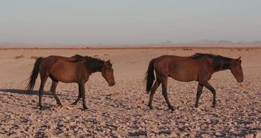 4k Weitwinkelansicht von Wildpferden, die durch die Wüstenlandschaft gehen