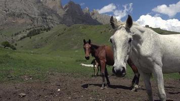 wilde Pferde schauen in die Kamera, während sie Gras in den Bergen des Kaukasus essen