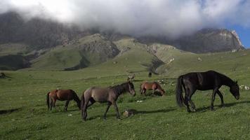 caballos salvajes comiendo hierba en las montañas del cáucaso video