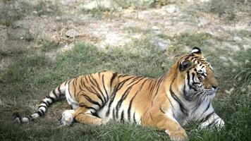 tigre acostado. video
