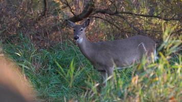 ciervos pastando en la pradera de ohio