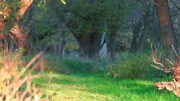 gran venado cruzando el sendero verde en ohio