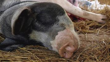 sow lying in the straw with suckling newborn piglets video