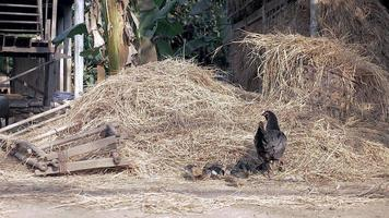 Poultry pecking grain from a hay when a pig covered in mud passes by them video