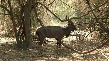 Malawi: Nyala in freier Wildbahn video
