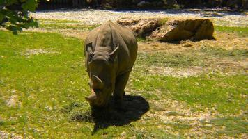 rhinocéros blanc et herbe