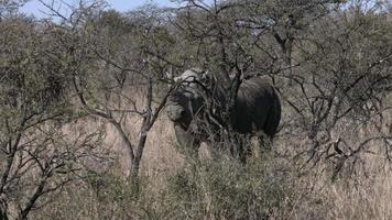 rhinocéros noir dans la brousse