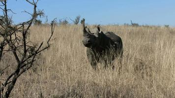 rinoceronte negro parado no veld video
