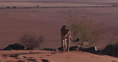 Guépard 4k marchant sur les dunes de sable rouge du désert du namib video