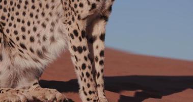4k panoramique vers le haut coup de guépard assis sur les dunes de sable rouge du désert du namib video
