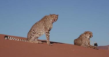 4k deux guépards assis et couchés sur les dunes de sable rouge du désert du namib video
