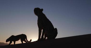 Guépard 4k en silhouette contre le soleil couchant du désert du namib video