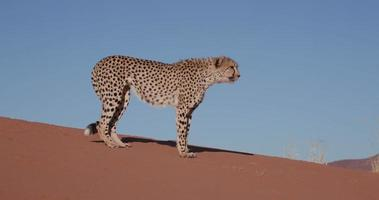 Ghepardo 4 k seduto sulle dune di sabbia rossa del deserto del namib