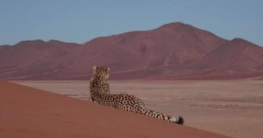Ghepardo 4 k sdraiato sulle dune di sabbia rossa del deserto del namib