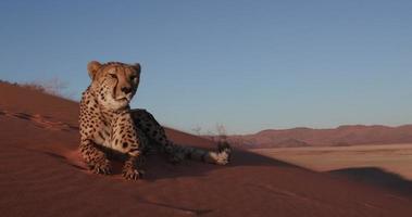 Cheetah 4k olhando para a câmera e deitado nas dunas de areia vermelha do deserto do namibe