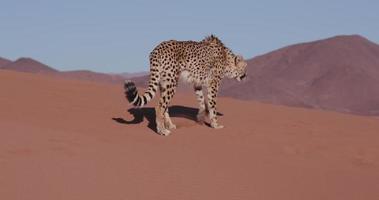 Cheetah 4k caminhando nas dunas de areia vermelha do deserto do Namibe