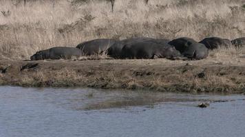 ippopotami che dormono sulla riva del fiume.