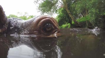 close-up extremo do rosto de hipopótamo no rio