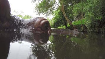 close-up extremo do rosto de hipopótamo no rio video