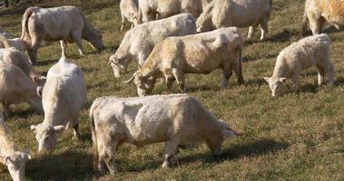 mucche di montagna spagna bianco sul campo 4k vall de nuria
