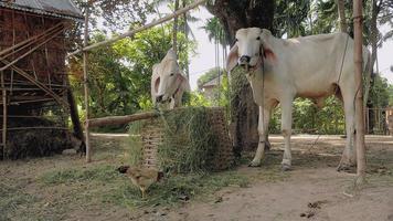 Vacas blancas atadas con una cuerda en un corral y comiendo hierba de una canasta de bambú